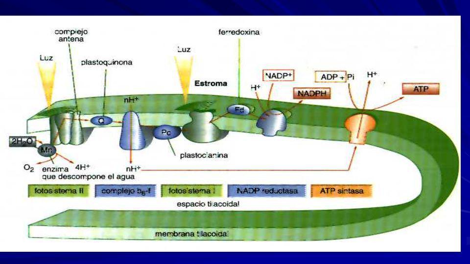 A partir de 1 molécula de agua y 4 fotones de luz, se forman –una molécula de NADPH, –una de ATP y ½O2. Al final en la Fotofosforilación acíclica o no