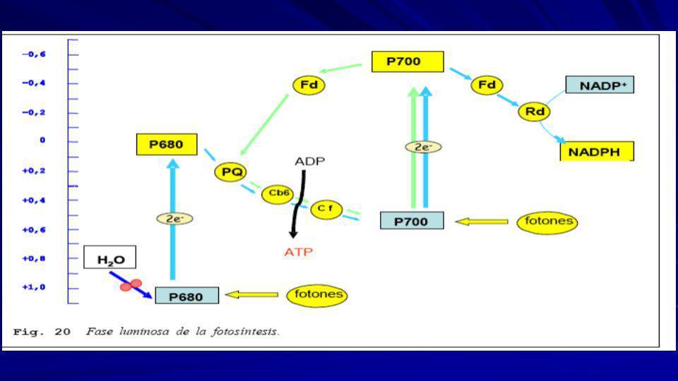 Los e- del fotosistema I son capturados por la ferredoxina, pero, en vez de continuar hacia el NADP, son desviados hacia el complejo citocromo b-c que