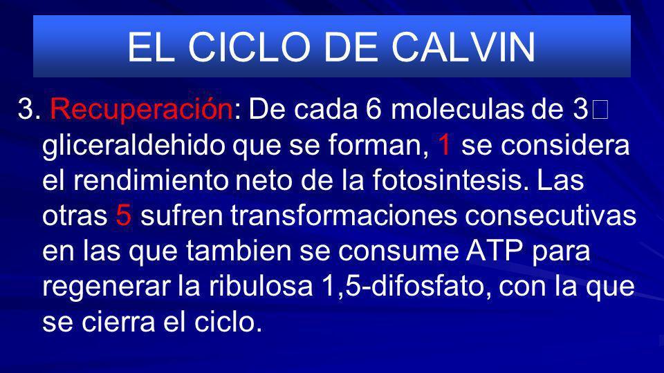 EL CICLO DE CALVIN 2. Reducción: El 3- glicerato se reduce a 3 gliceraldehido consumiendose el NADPH y el ATP que se obtuvieron en la fase luminosa.