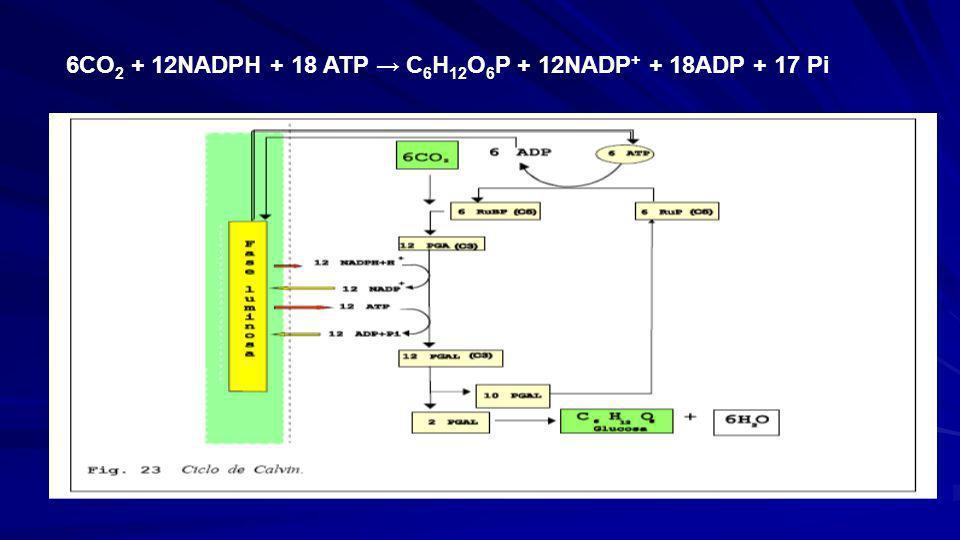 EL CICLO DE CALVIN 3. Recuperación: De cada 6 moleculas de 3 gliceraldehido que se forman, 1 se considera el rendimiento neto de la fotosintesis. Las
