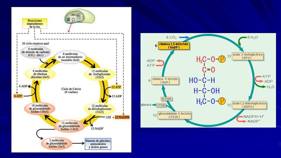 6CO 2 + 12NADPH + 18 ATP C 6 H 12 O 6 P + 12NADP + + 18ADP + 17 Pi