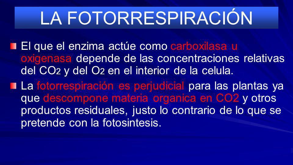 LA FOTORRESPIRACION El enzima RuBisCo puede funcionar en dos sentidos diferentes. En el ciclo de Calvin cataliza la carboxila- cion de la ribulosa 1,5
