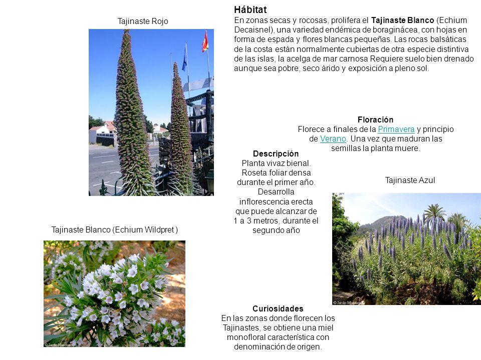 Tajinaste Rojo Tajinaste Azul Tajinaste Blanco (Echium Wildpret ) Curiosidades En las zonas donde florecen los Tajinastes, se obtiene una miel monoflo
