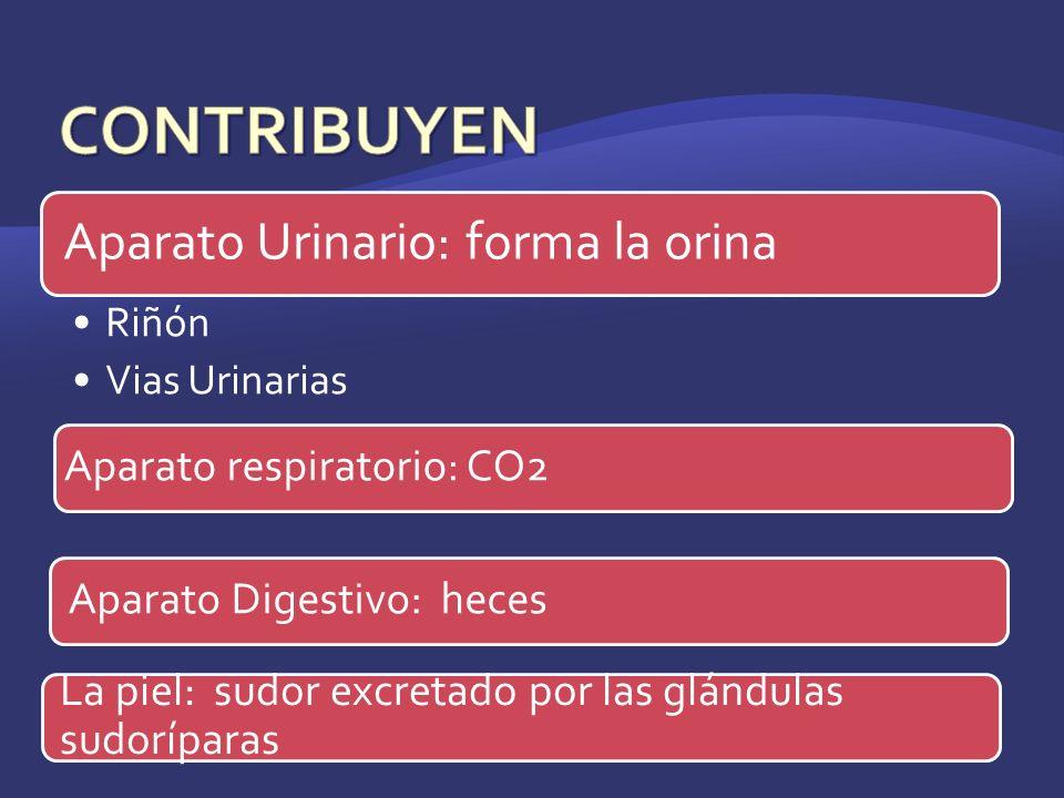 Aparato Urinario: forma la orina Riñón Vias Urinarias Aparato respiratorio: CO2 La piel: sudor excretado por las glándulas sudoríparas Aparato Digesti