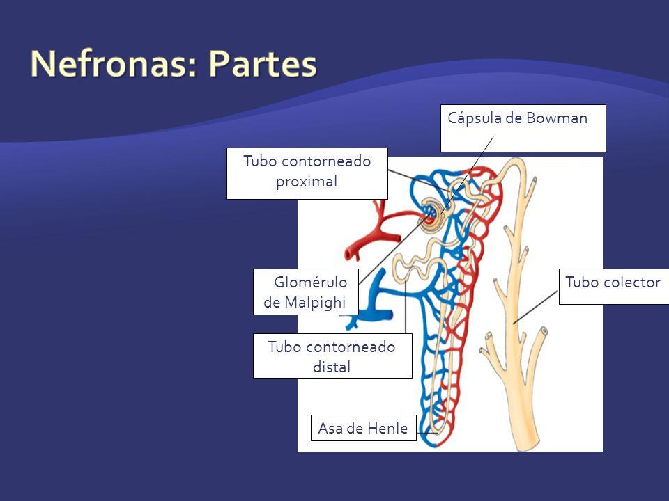 Tubo contorneado proximal Tubo colectorGGlomérulo de Malpighi Tubo contorneado distal Asa de Henle Cápsula de Bowman
