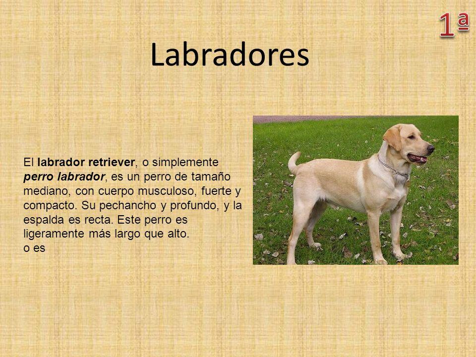 Labradores El labrador retriever, o simplemente perro labrador, es un perro de tamaño mediano, con cuerpo musculoso, fuerte y compacto. Su pechancho y
