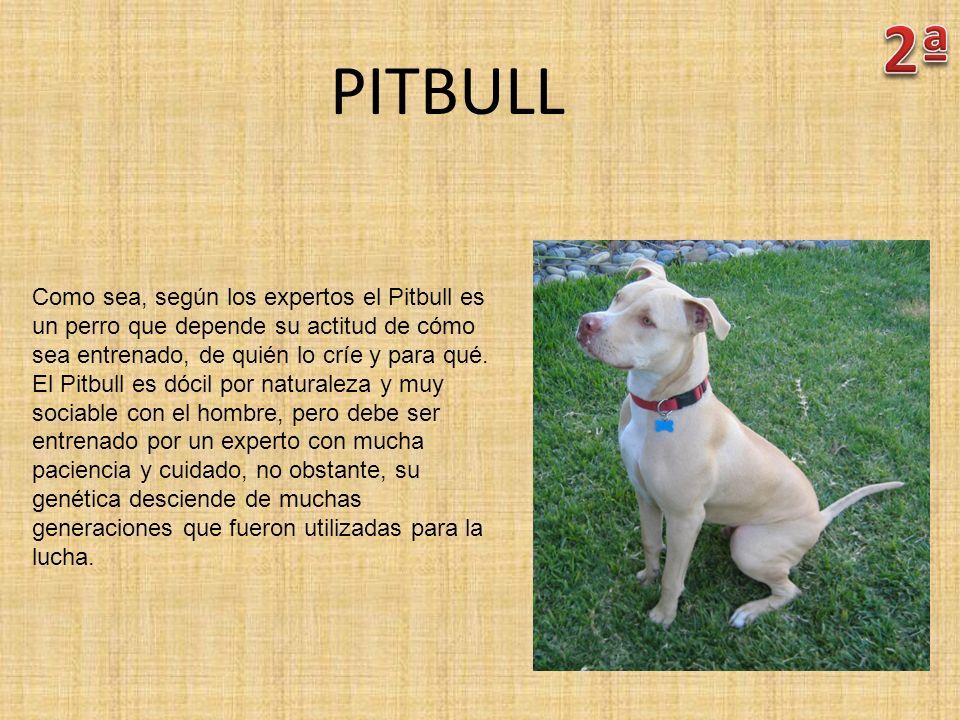 PITBULL Como sea, según los expertos el Pitbull es un perro que depende su actitud de cómo sea entrenado, de quién lo críe y para qué. El Pitbull es d