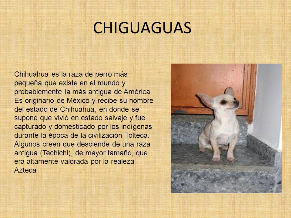 CHIGUAGUAS Chihuahua es la raza de perro más pequeña que existe en el mundo y probablemente la más antigua de América. Es originario de México y recib