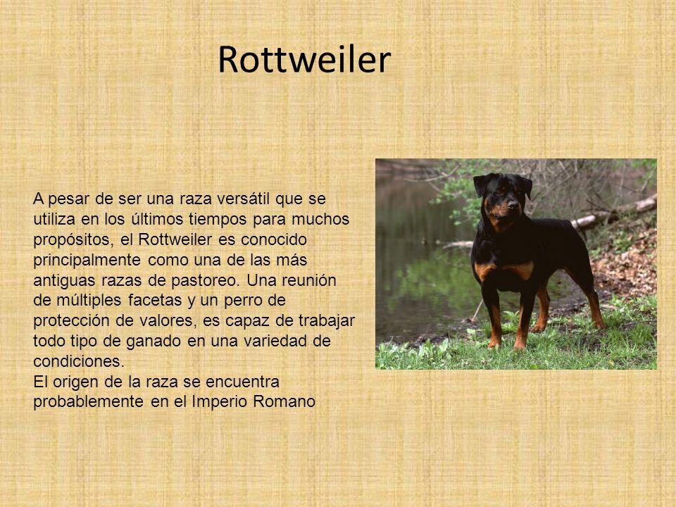 Rottweiler A pesar de ser una raza versátil que se utiliza en los últimos tiempos para muchos propósitos, el Rottweiler es conocido principalmente com