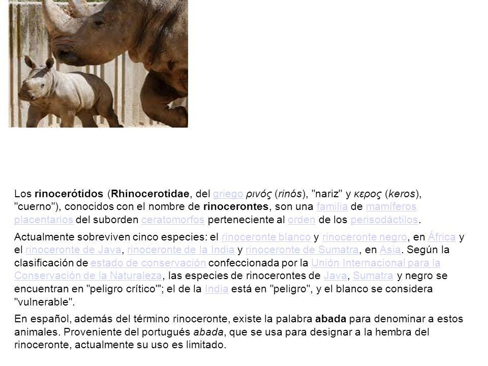 Los rinocerótidos (Rhinocerotidae, del griego ρινός (rinós),