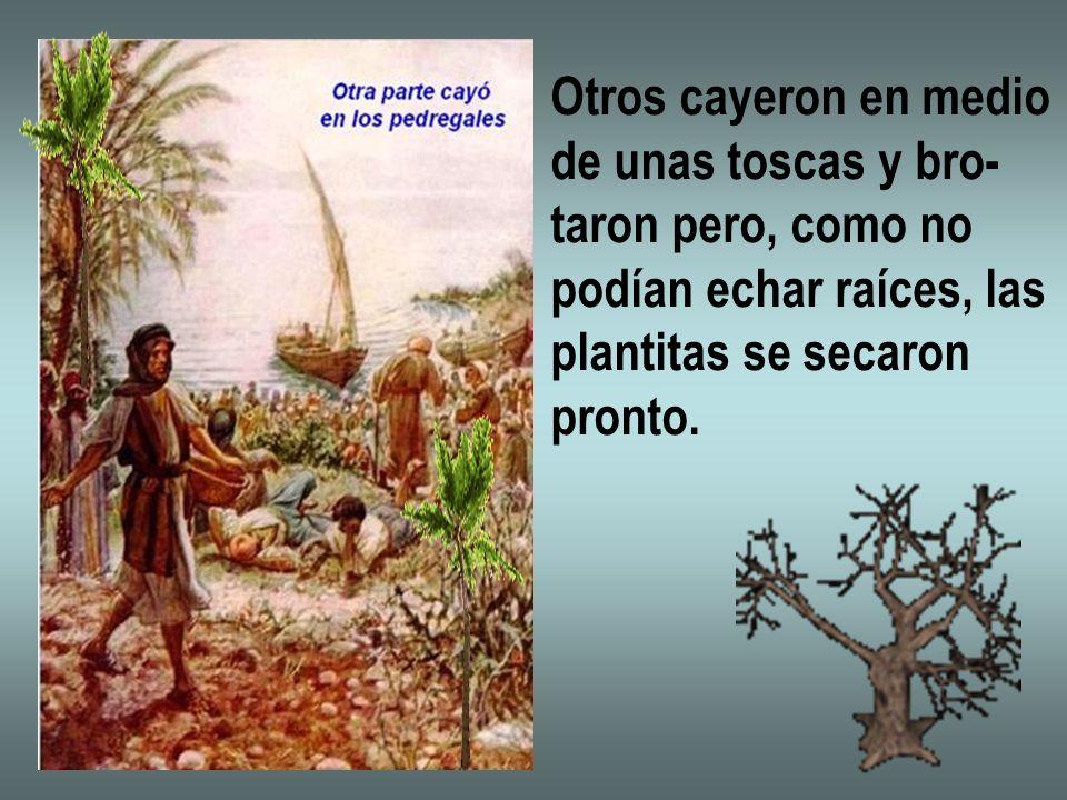 Otros cayeron en medio de unas toscas y bro- taron pero, como no podían echar raíces, las plantitas se secaron pronto.
