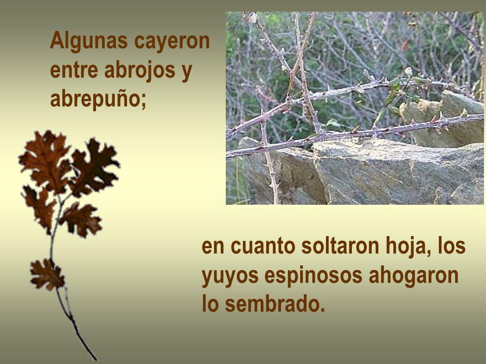 Algunas cayeron entre abrojos y abrepuño; en cuanto soltaron hoja, los yuyos espinosos ahogaron lo sembrado.