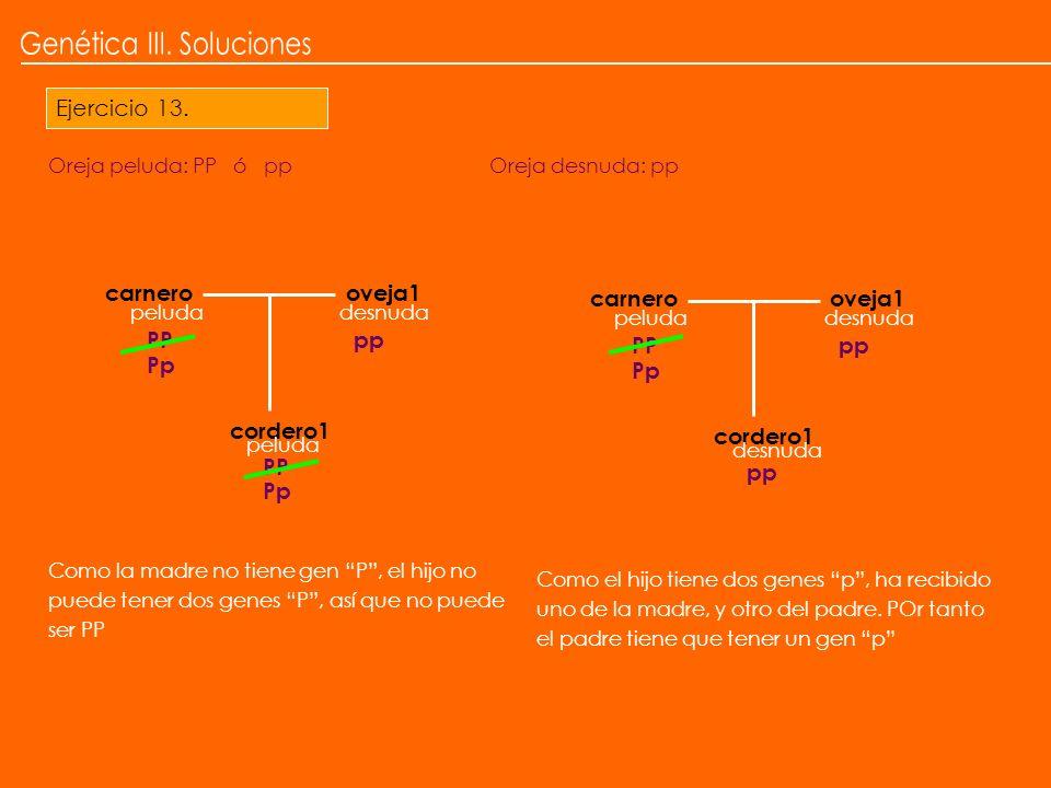 Ejercicio 13. PP carnerooveja1 peludadesnuda cordero1 peluda Como la madre no tiene gen P, el hijo no puede tener dos genes P, así que no puede ser PP