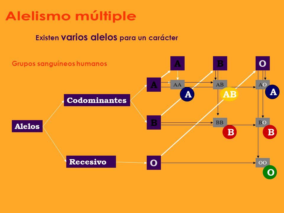 No existe un alelo dominante, sino que ambos tienen la misma capacidad de expresión, se denominan alelos codominantes y originan una herencia intermed