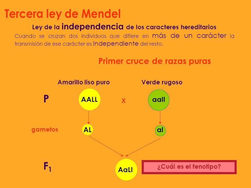 Ley de la independencia de los caracteres hereditarios Cuando se cruzan dos individuos que difiere en más de un carácter la transmisión de ese carácte