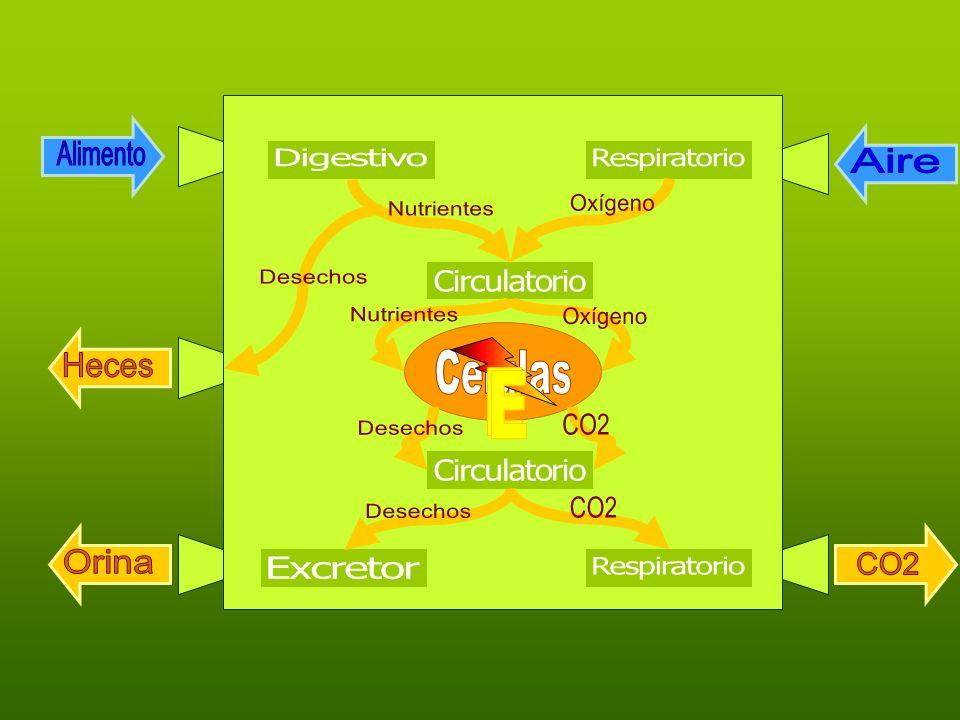 Filtración Humidificación Calefacción G. blancos A. circulatorio O2O2 CO 2