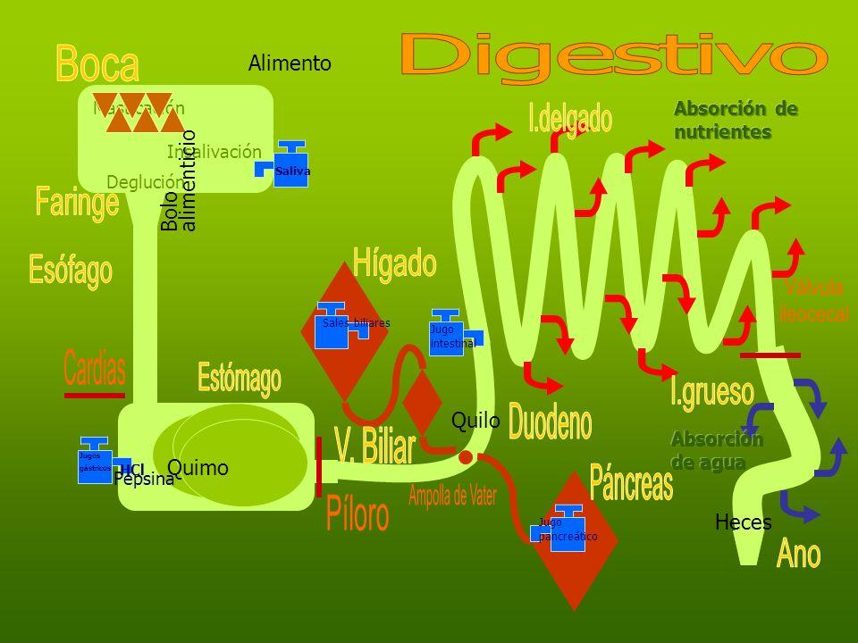 Masticación Insalivación Deglución Alimento Bolo alimenticio Saliva Jugos gástricos HCl Pepsina Quimo Jugo pancreático Sales biliares Quilo Jugo intes