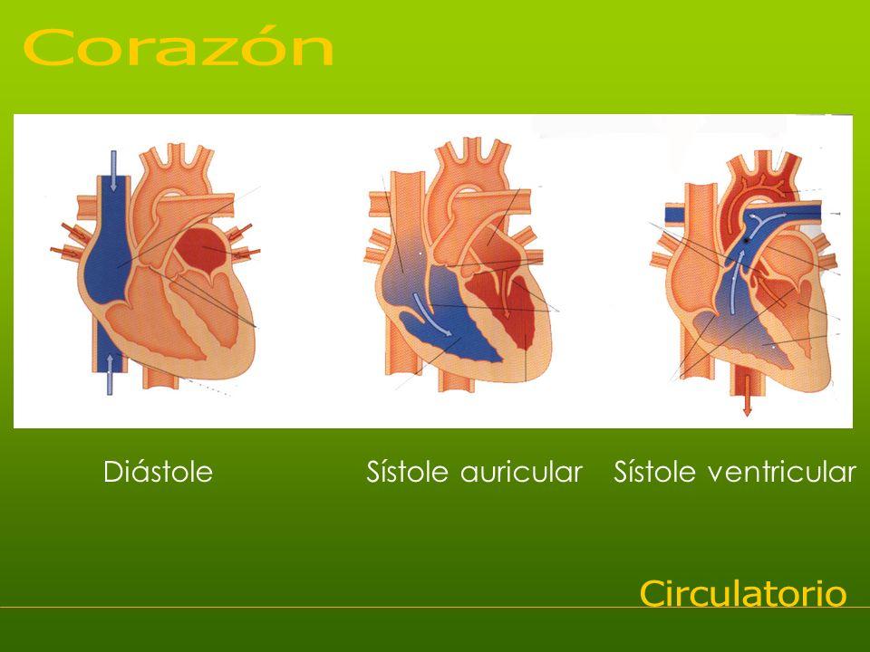 Diástole Sístole auricular Sístole ventricular