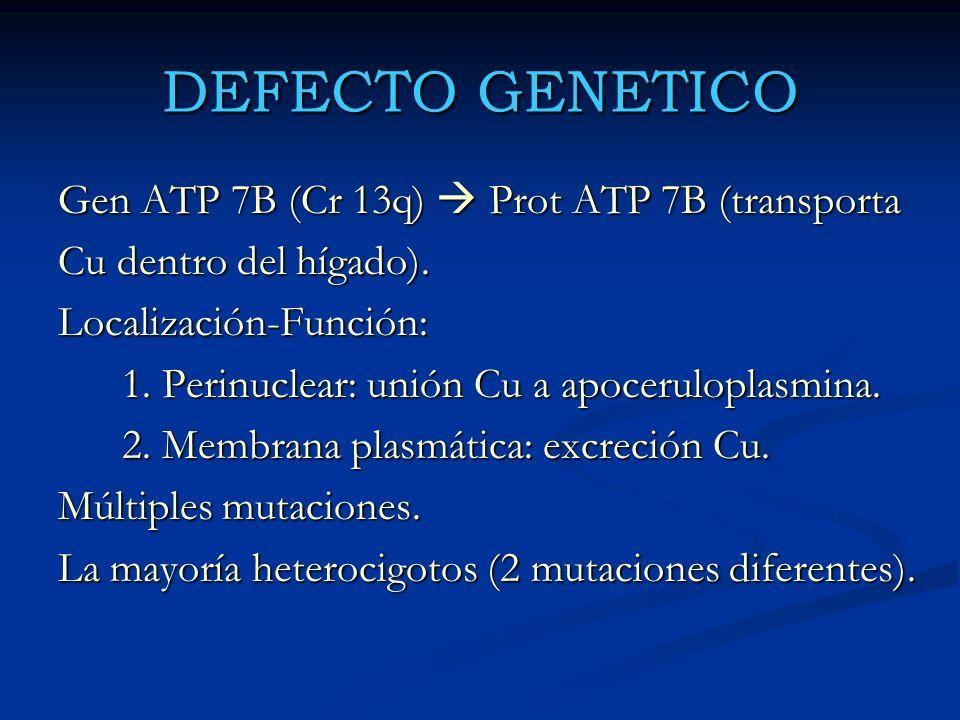 DEFECTO GENETICO Gen ATP 7B (Cr 13q) Prot ATP 7B (transporta Cu dentro del hígado). Localización-Función: 1. Perinuclear: unión Cu a apoceruloplasmina