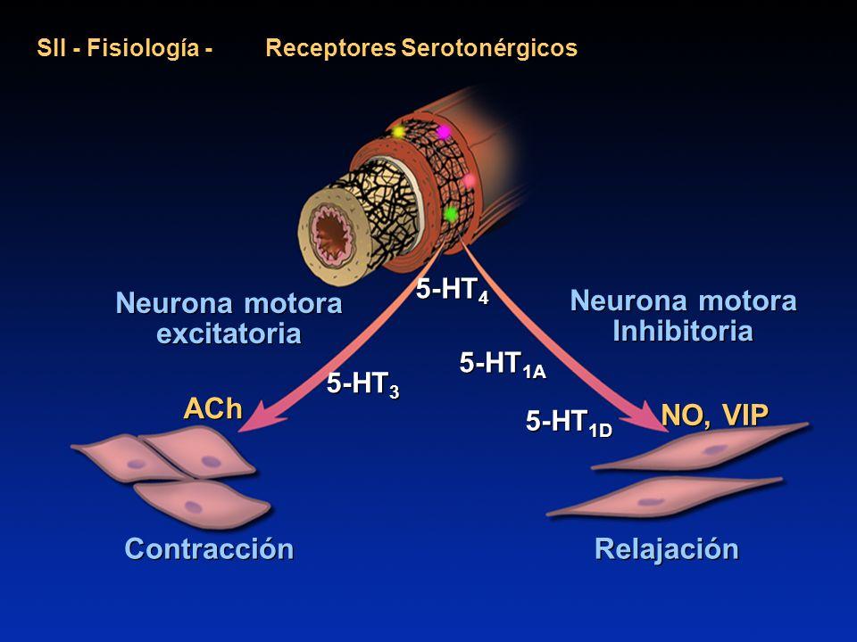 SII - Fisiología - Receptores Serotonérgicos Neurona motora excitatoria 5-HT 3 5-HT 4 5-HT 1A 5-HT 1D Neurona motora Inhibitoria Neurona motora Inhibi