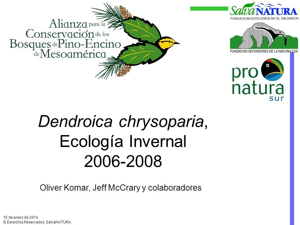 Dendroica chrysoparia, Ecología Invernal 2006-2008 15 de enero de 2014 © Derechos Reservados SalvaNATURA Oliver Komar, Jeff McCrary y colaboradores