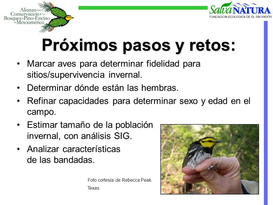 Próximos pasos y retos: Marcar aves para determinar fidelidad para sitios/supervivencia invernal.