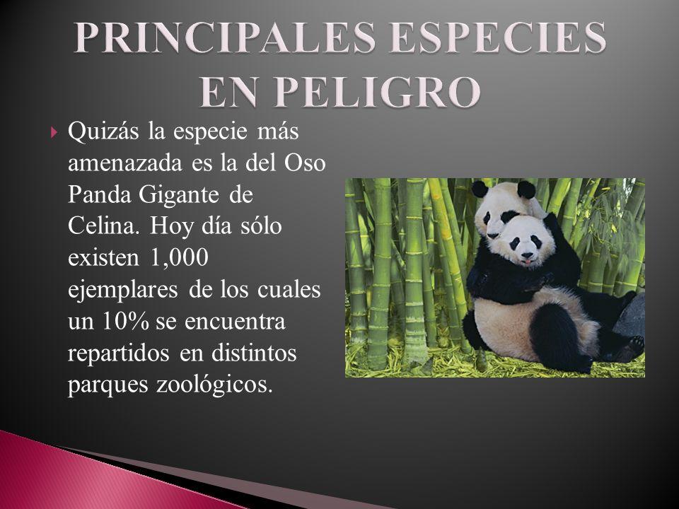 Quizás la especie más amenazada es la del Oso Panda Gigante de Celina. Hoy día sólo existen 1,000 ejemplares de los cuales un 10% se encuentra reparti