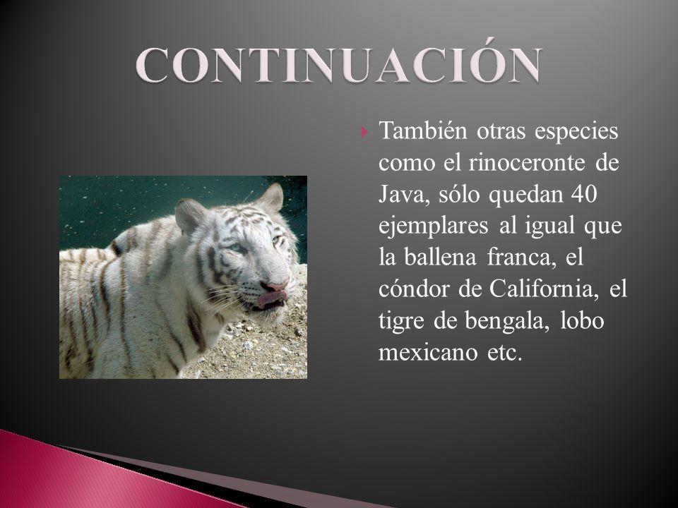 También otras especies como el rinoceronte de Java, sólo quedan 40 ejemplares al igual que la ballena franca, el cóndor de California, el tigre de ben