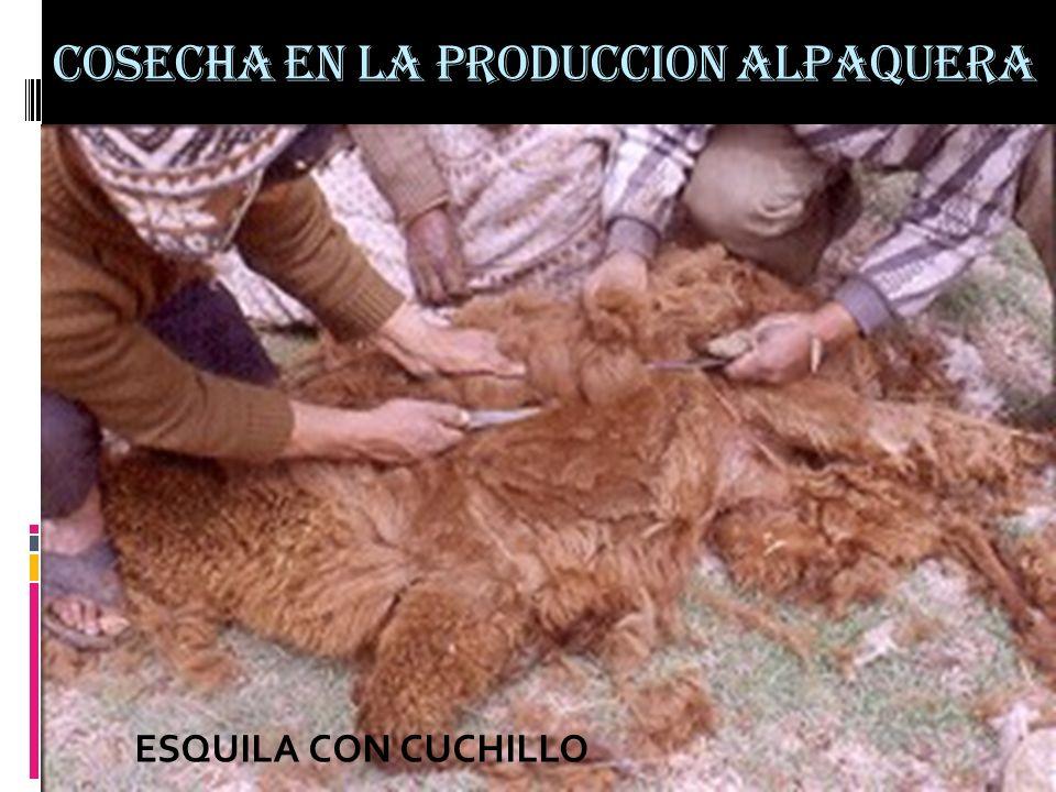 COSECHA EN LA PRODUCCION ALPAQUERA ESQUILA CON CUCHILLO