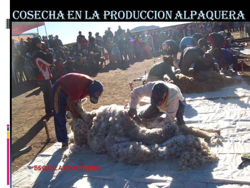 COSECHA EN LA PRODUCCION ALPAQUERA ESQUILA CON TIJERA
