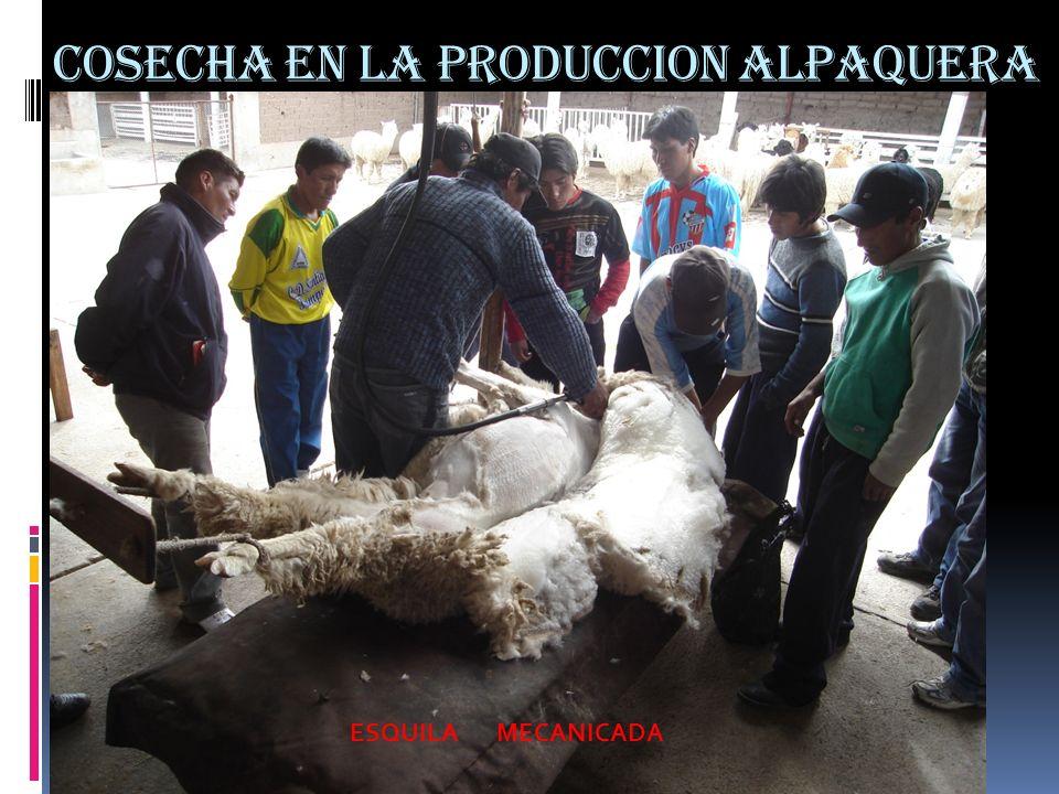 COSECHA EN LA PRODUCCION ALPAQUERA ESQUILA MECANICADA