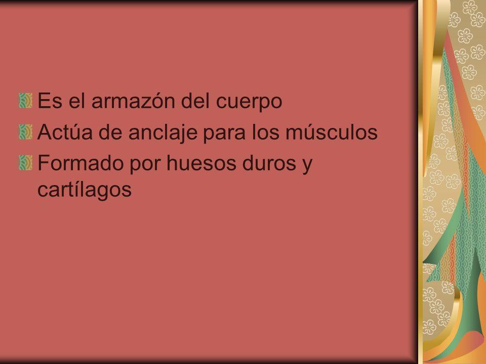 Es el armazón del cuerpo Actúa de anclaje para los músculos Formado por huesos duros y cartílagos