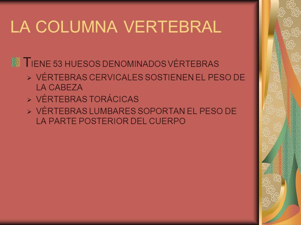 LA COLUMNA VERTEBRAL T IENE 53 HUESOS DENOMINADOS VÉRTEBRAS VÉRTEBRAS CERVICALES SOSTIENEN EL PESO DE LA CABEZA VÉRTEBRAS TORÁCICAS VÉRTEBRAS LUMBARES