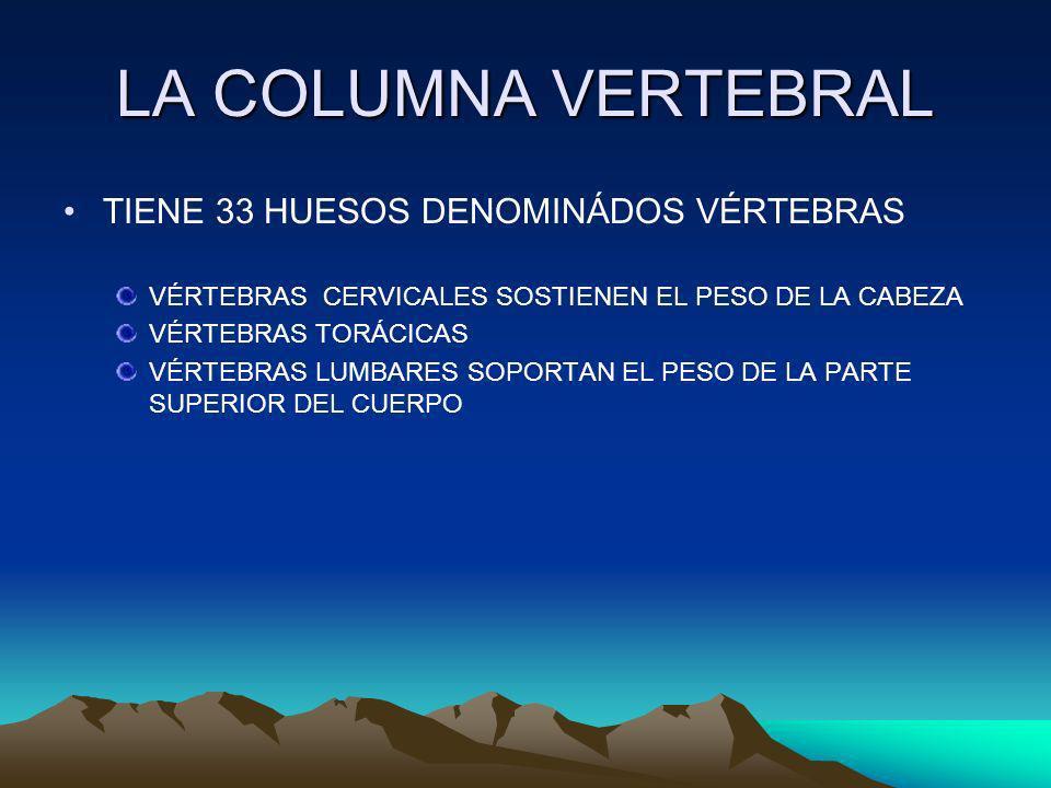 LA COLUMNA VERTEBRAL TIENE 33 HUESOS DENOMINÁDOS VÉRTEBRAS VÉRTEBRAS CERVICALES SOSTIENEN EL PESO DE LA CABEZA VÉRTEBRAS TORÁCICAS VÉRTEBRAS LUMBARES SOPORTAN EL PESO DE LA PARTE SUPERIOR DEL CUERPO