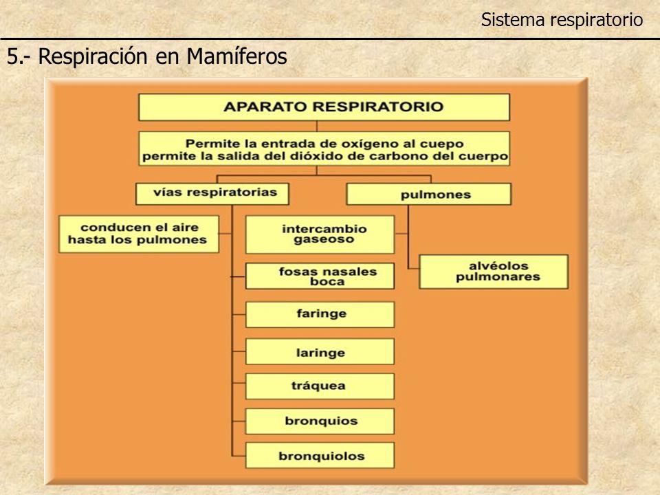 Sistema respiratorio 5.- Respiración en Mamíferos