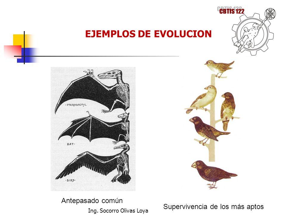 Antepasado común Supervivencia de los más aptos EJEMPLOS DE EVOLUCION Ing. Socorro Olivas Loya