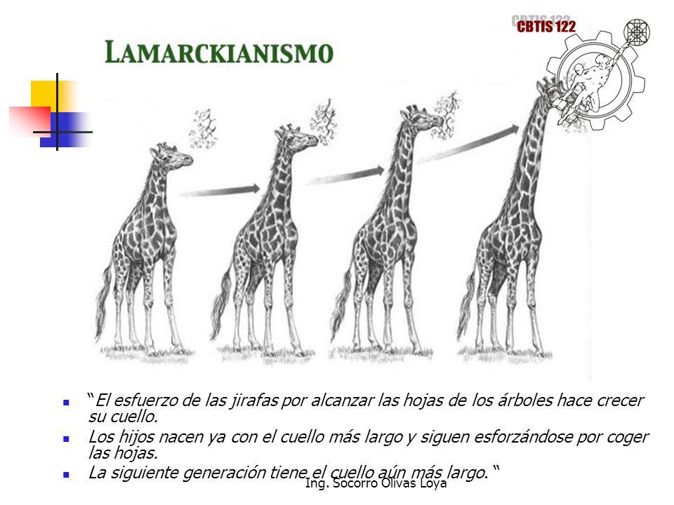 El esfuerzo de las jirafas por alcanzar las hojas de los árboles hace crecer su cuello. Los hijos nacen ya con el cuello más largo y siguen esforzándo