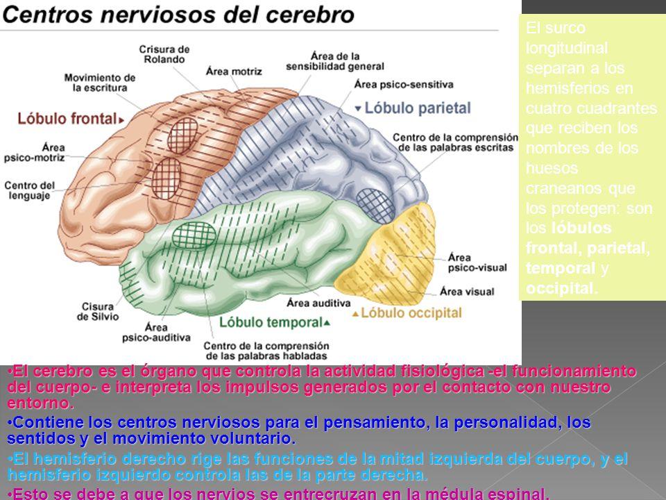 El cerebro es el órgano que controla la actividad fisiológica -el funcionamiento del cuerpo- e interpreta los impulsos generados por el contacto con n