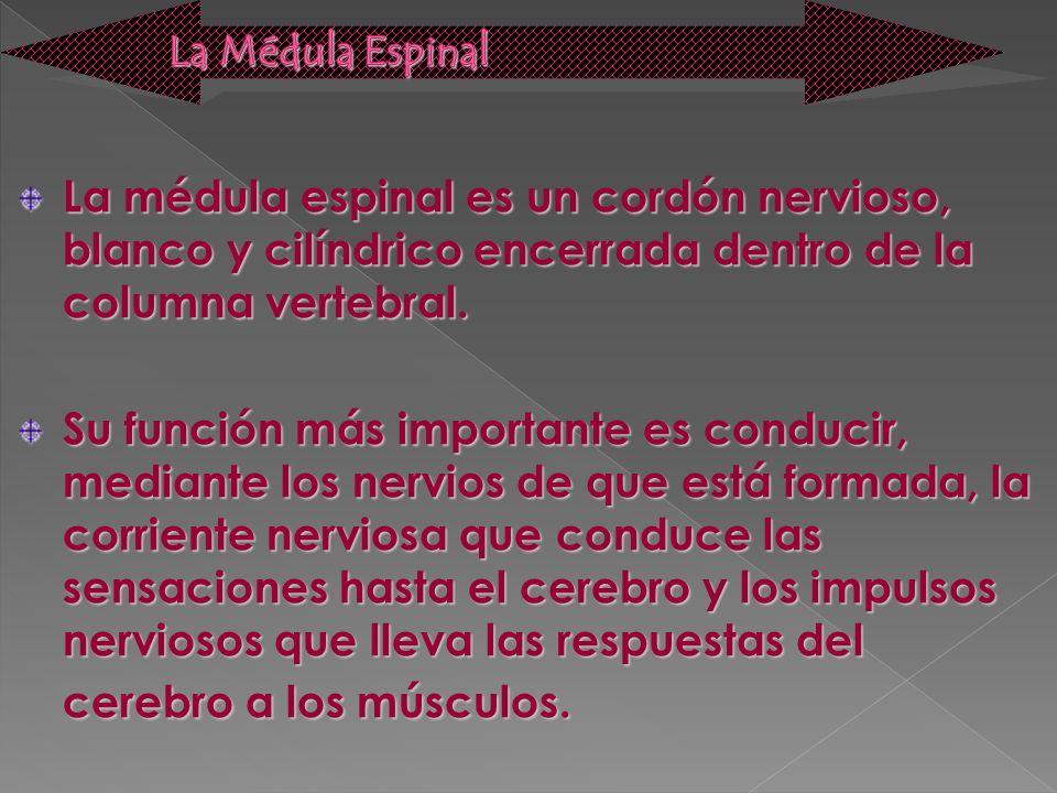 La médula espinal es un cordón nervioso, blanco y cilíndrico encerrada dentro de la columna vertebral. Su función más importante es conducir, mediante