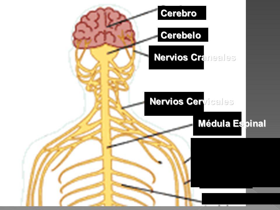 Cerebro Cerebelo Nervios Craneales Nervios Cervicales Médula Espinal Nervio Radial Nervio Mediano