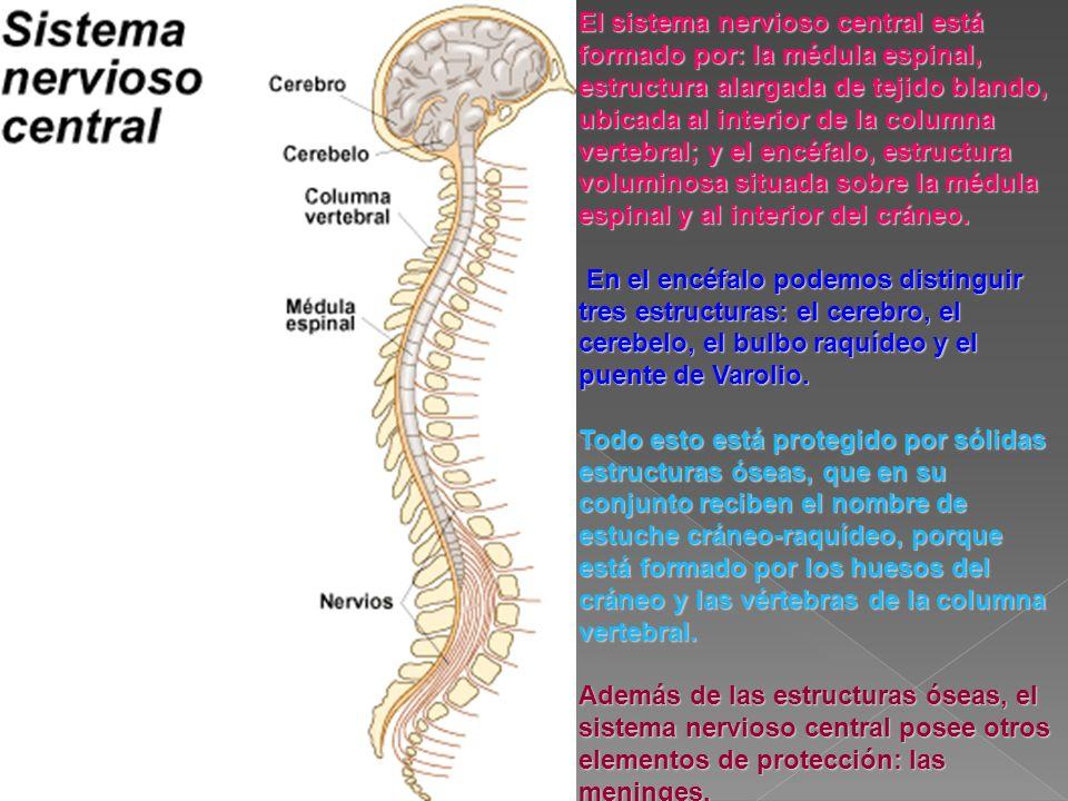 El sistema nervioso central está formado por: la médula espinal, estructura alargada de tejido blando, ubicada al interior de la columna vertebral; y