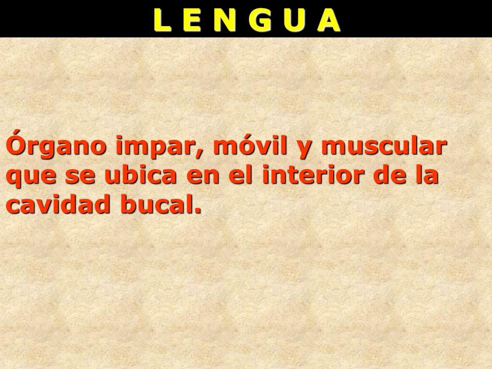 L E N G U A Órgano impar, móvil y muscular que se ubica en el interior de la cavidad bucal.
