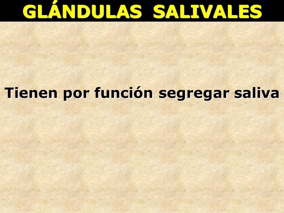GLÁNDULAS SALIVALES Tienen por función segregar saliva