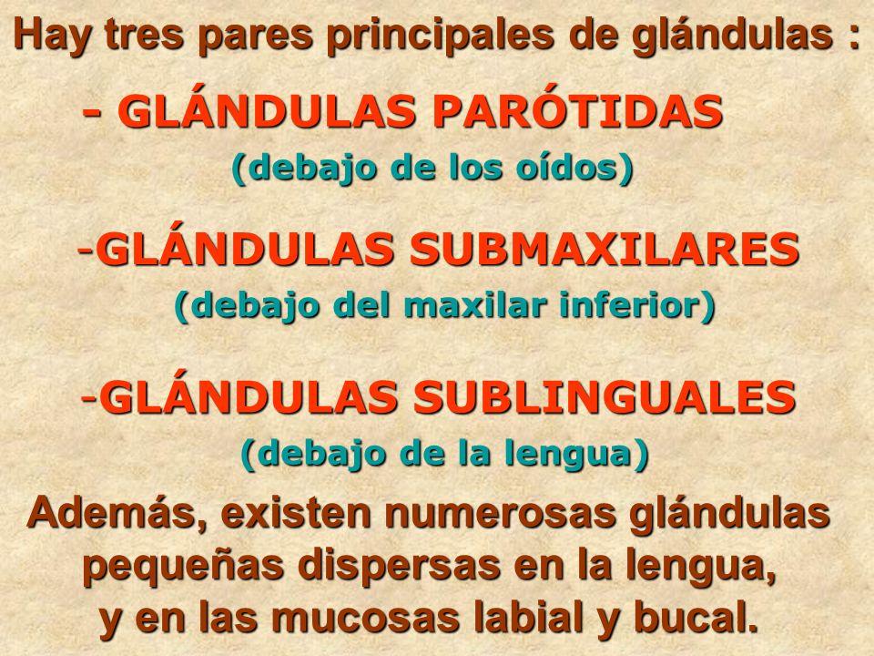 Hay tres pares principales de glándulas : - GLÁNDULAS PARÓTIDAS (debajo de los oídos) - GLÁNDULAS PARÓTIDAS (debajo de los oídos) -GLÁNDULAS SUBMAXILA