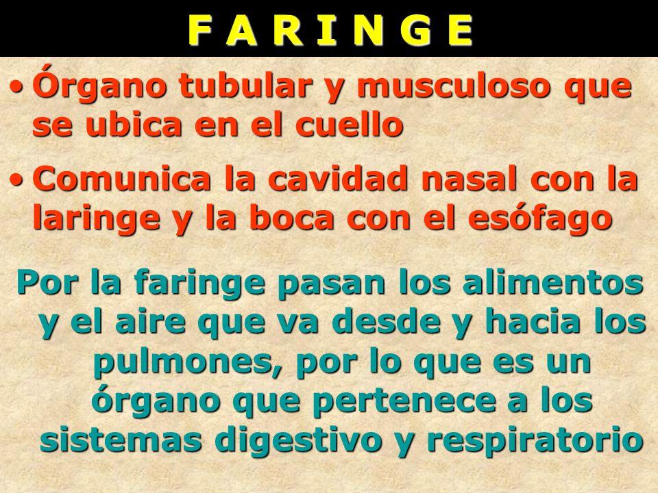 F A R I N G E Órgano tubular y musculoso que se ubica en el cuelloÓrgano tubular y musculoso que se ubica en el cuello Comunica la cavidad nasal con l