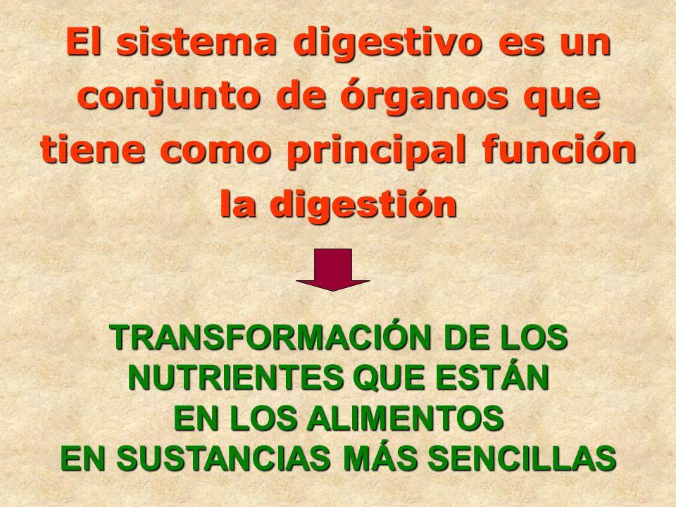 El sistema digestivo es un conjunto de órganos que tiene como principal función la digestión TRANSFORMACIÓN DE LOS NUTRIENTES QUE ESTÁN EN LOS ALIMENT
