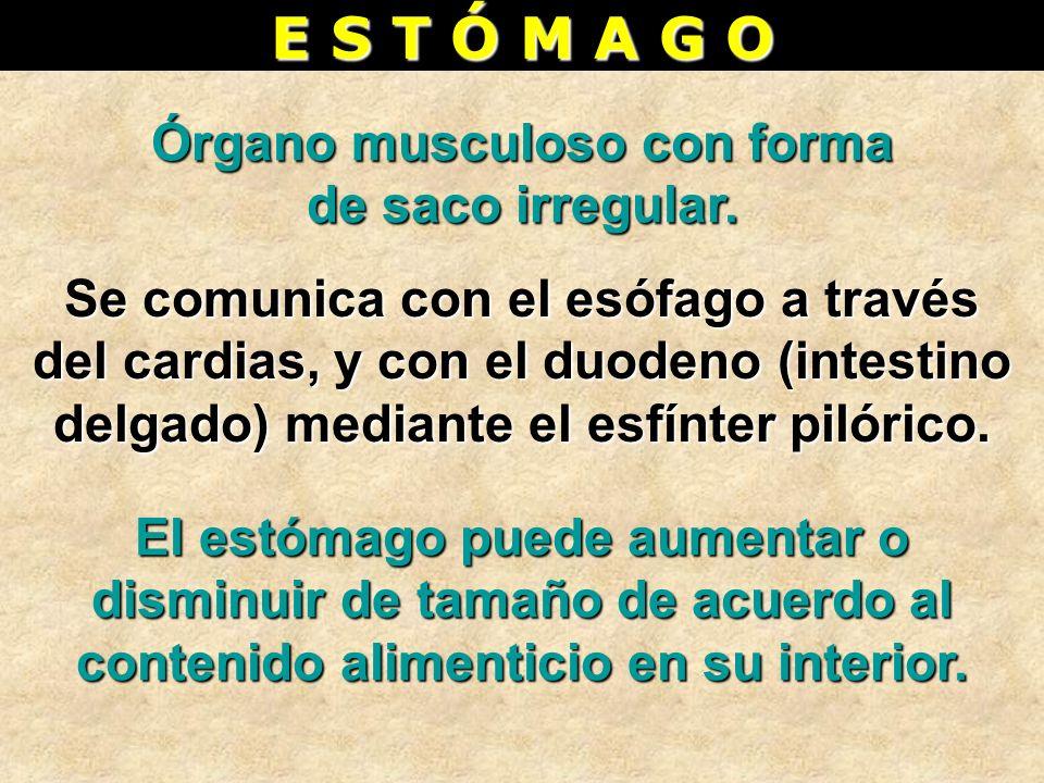 E S T Ó M A G O Órgano musculoso con forma de saco irregular. Se comunica con el esófago a través del cardias, y con el duodeno (intestino delgado) me