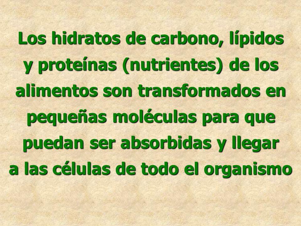 Los hidratos de carbono, lípidos y proteínas (nutrientes) de los alimentos son transformados en pequeñas moléculas para que puedan ser absorbidas y ll