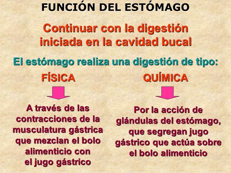 FUNCIÓN DEL ESTÓMAGO Continuar con la digestión iniciada en la cavidad bucal FÍSICA El estómago realiza una digestión de tipo: QUÍMICA A través de las