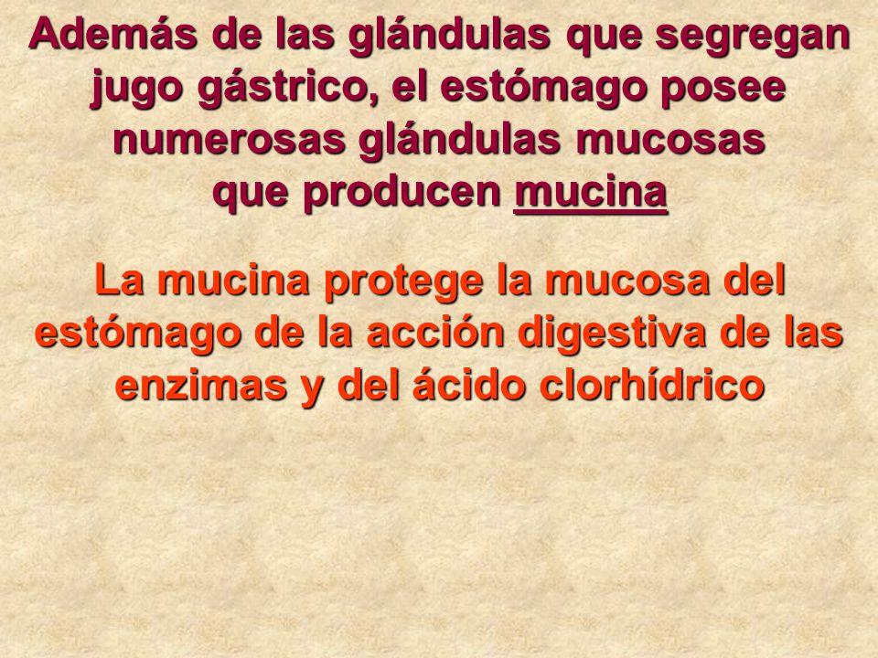 Además de las glándulas que segregan jugo gástrico, el estómago posee numerosas glándulas mucosas que producen mucina La mucina protege la mucosa del